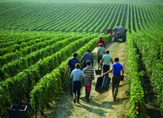 Real champagne vineyard