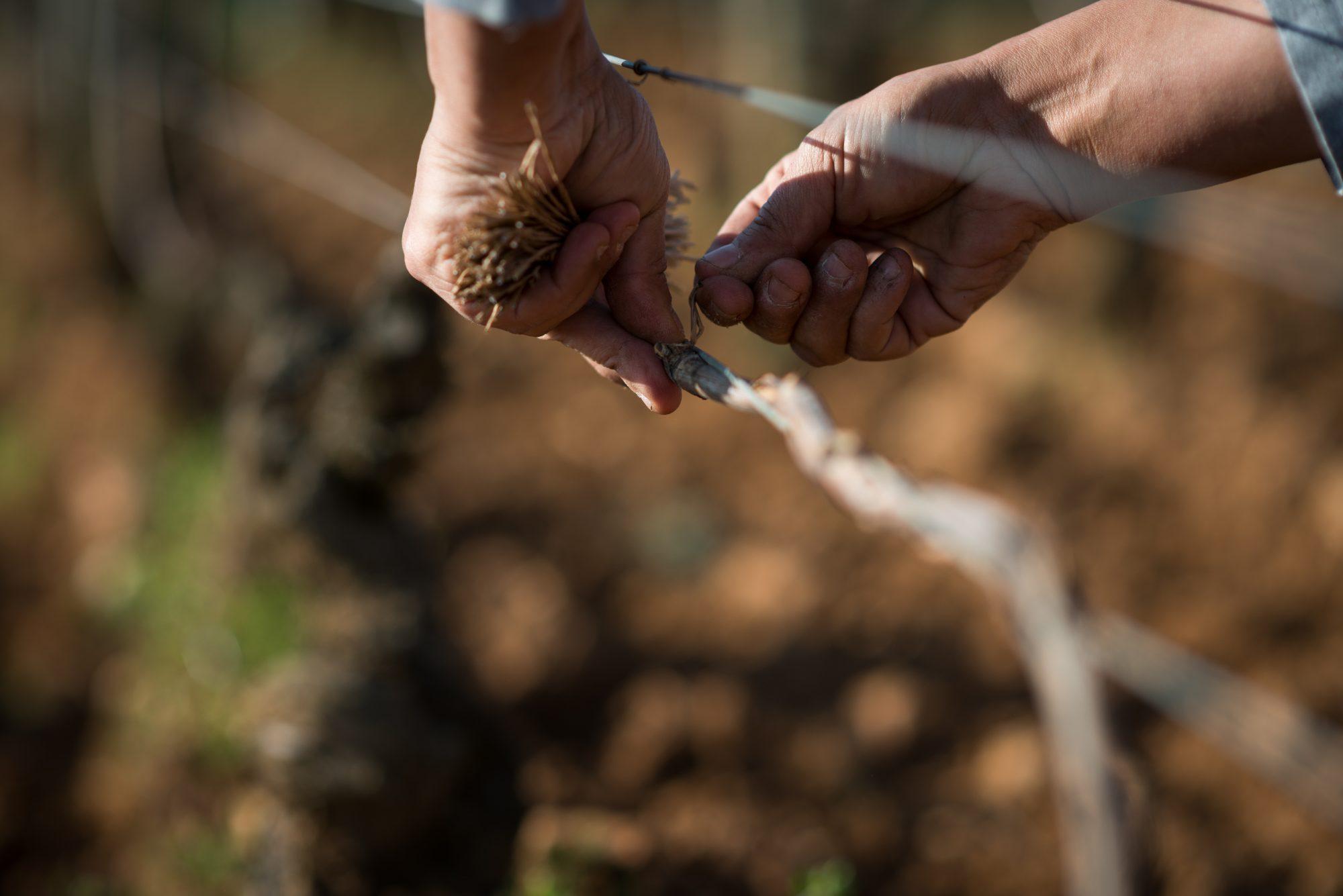 Travaux de la vigne : Attachage.Le vigneron attache le rameau su