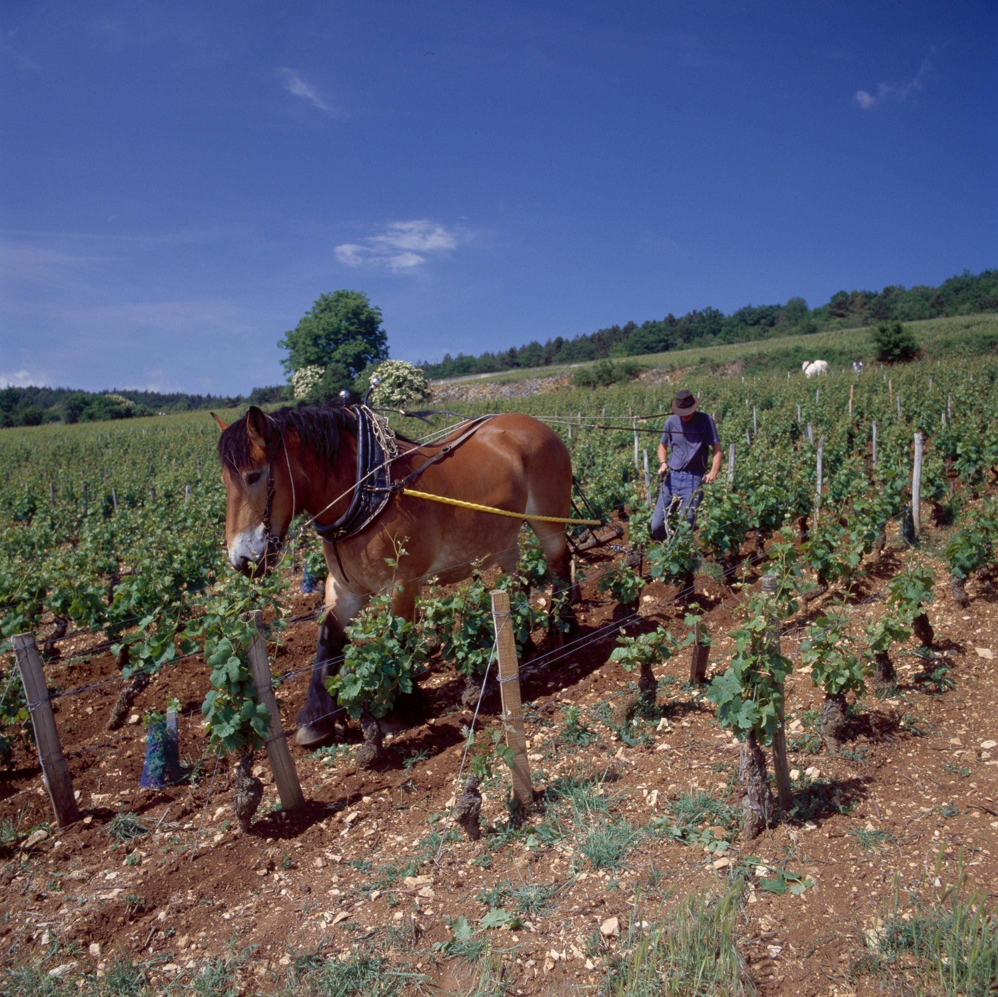 Still working with horses. They are more subtle than machines on the precious sloping soil ©BIVB - GADENNE D
