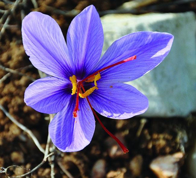 the pretty saffron crocus flower