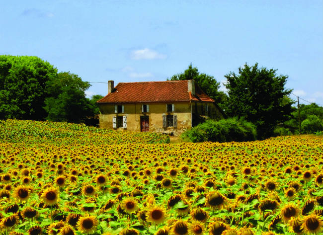 sunflowers in Gascony