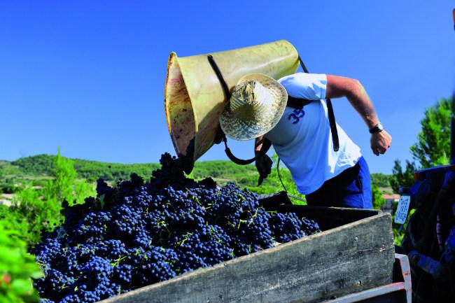 The grape harvest in Cruzy