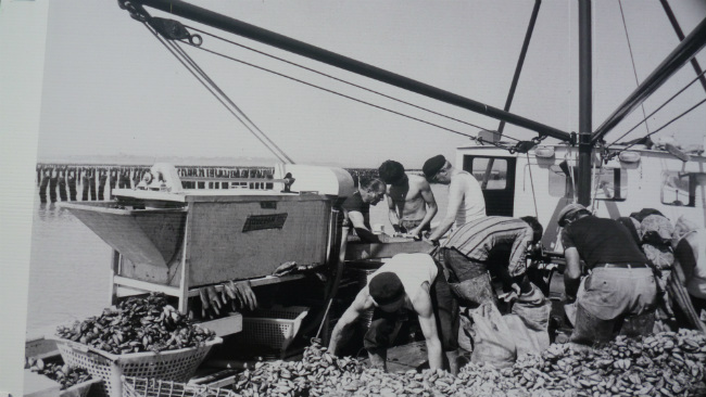 Vintage photo of mussel cultivation in the Bay Mont Saint Michel