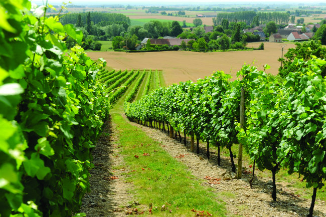 Saint-Pourçain vineyards