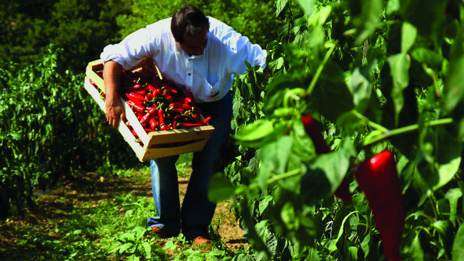Gathering the Espelette peppers