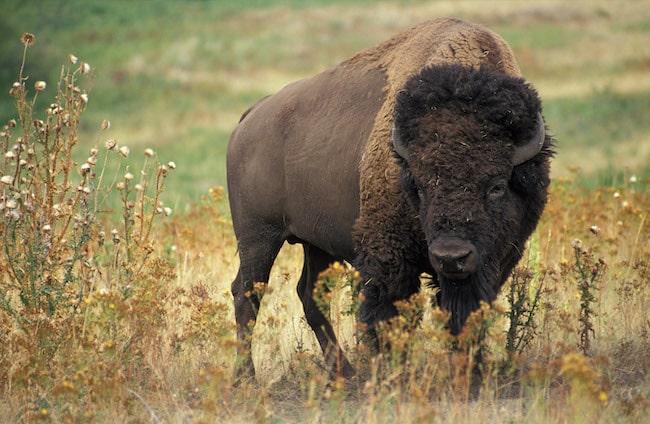An American bison/buffalo