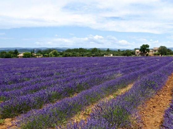 Lourmarin's Lavender Fields