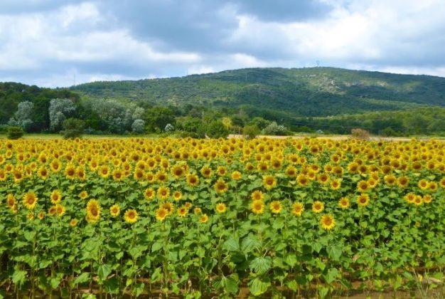 Lourmarin's sunflower Fields