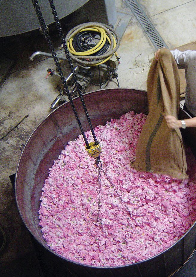 Rose petals are distilled for their scent